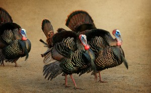Passive Income and Pageviews - November 2014 - Turkeys Marching